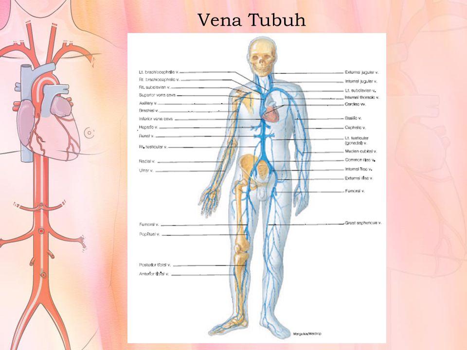 Vena Tubuh