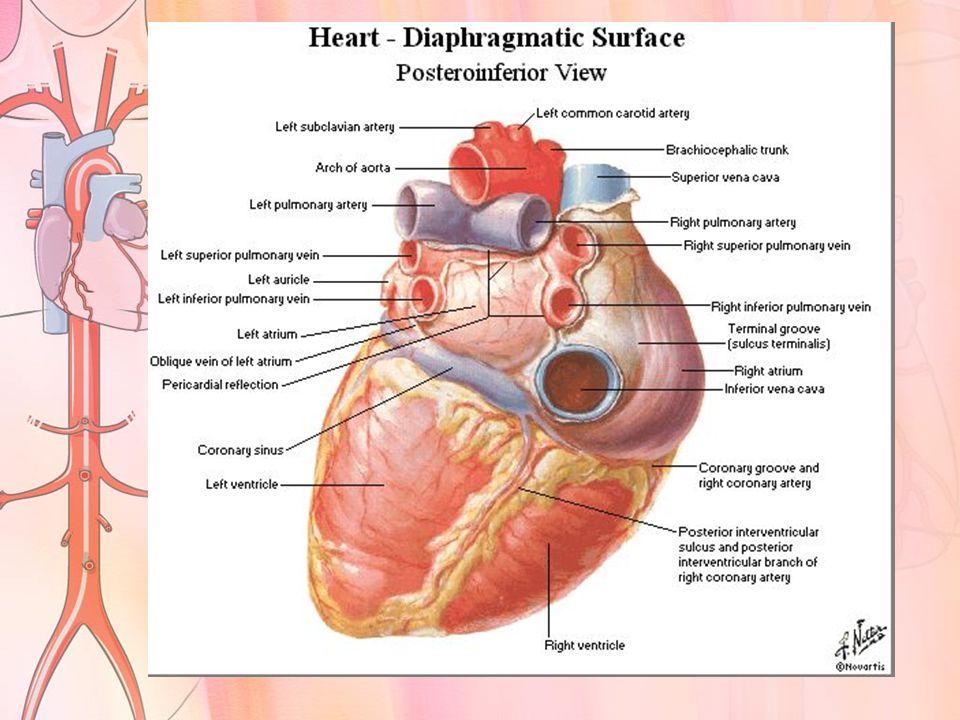 Atrium dextra Menerima darah dari : -Vena cava superior -Vena cava inferior Yang menerima aliran balik dari seluruh tubuh Atrium sinistra Menerima darah dari : -Ke 4 vena pulmonalis Yang berasal dari pulmo