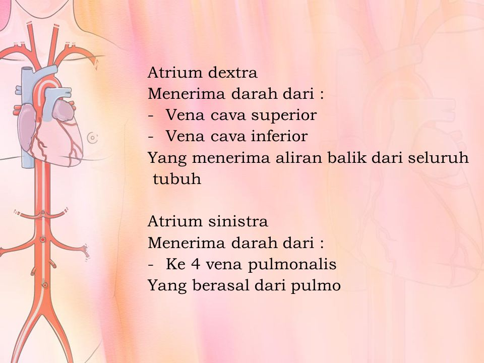 Ventriculus dextra Memompa darah melalui truncus pulmonalis yang kemudian bercab.: arteri pulmonalis dextra & sinistra, menuju pulmo Ventriculus sinistra Memompa darah melalui aorta ke seluruh tubuh