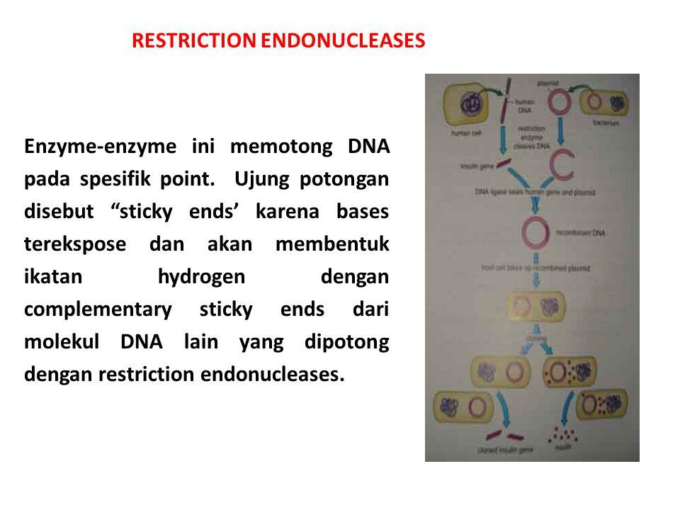 """Enzyme-enzyme ini memotong DNA pada spesifik point. Ujung potongan disebut """"sticky ends' karena bases terekspose dan akan membentuk ikatan hydrogen de"""