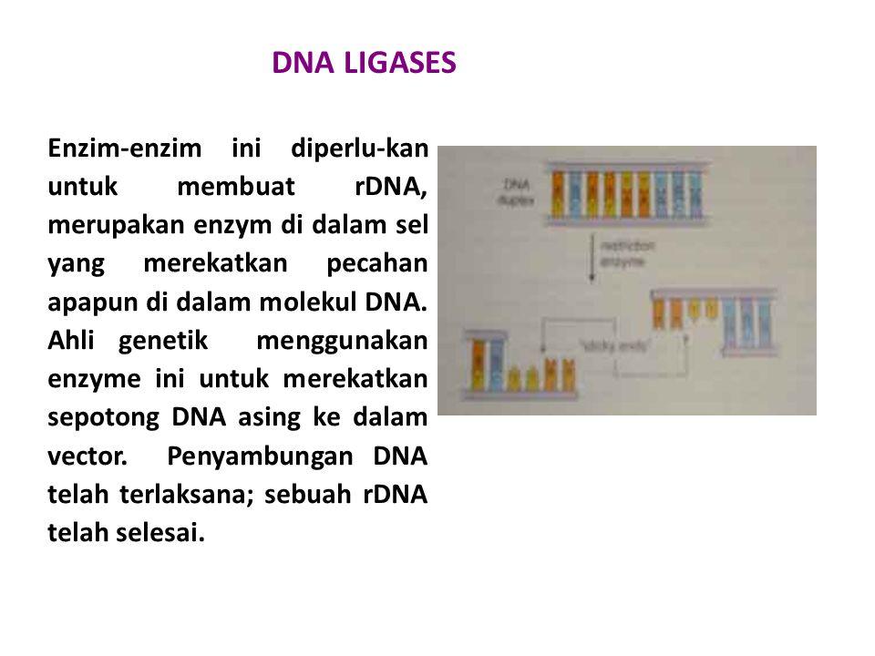 DNA LIGASES Enzim-enzim ini diperlu-kan untuk membuat rDNA, merupakan enzym di dalam sel yang merekatkan pecahan apapun di dalam molekul DNA. Ahli gen