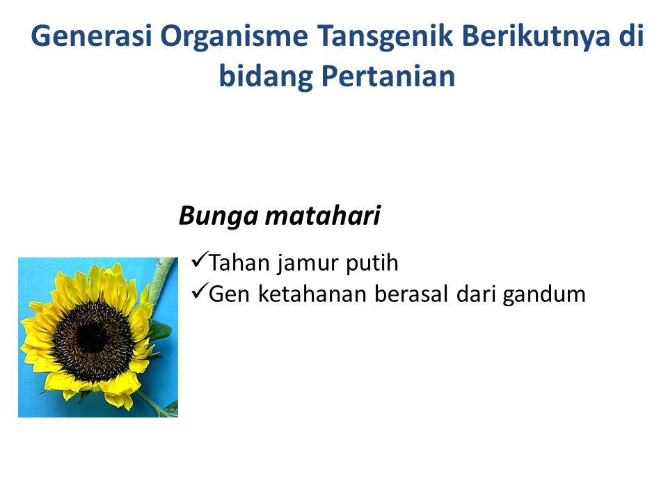 Bunga matahari Tahan jamur putih Gen ketahanan berasal dari gandum Generasi Organisme Tansgenik Berikutnya di bidang Pertanian