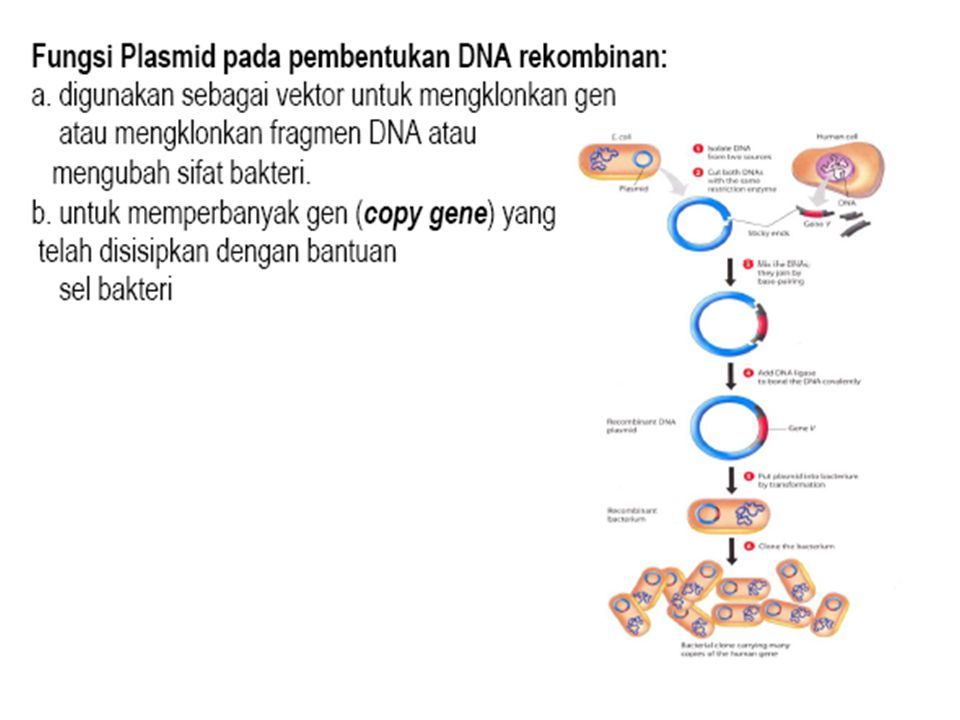 Enzyme-enzyme ini memotong DNA pada spesifik point.