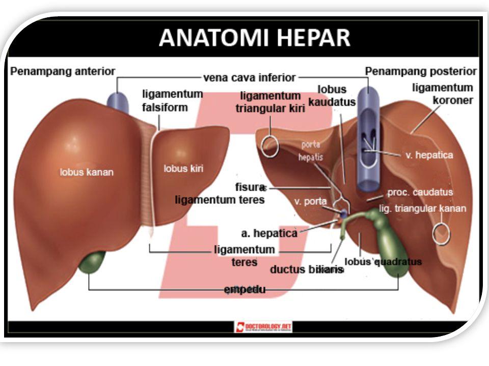 1.Hepatosit  2/3 hati 2. Sel kupfer (masih anggotanya sistem RE) 3.