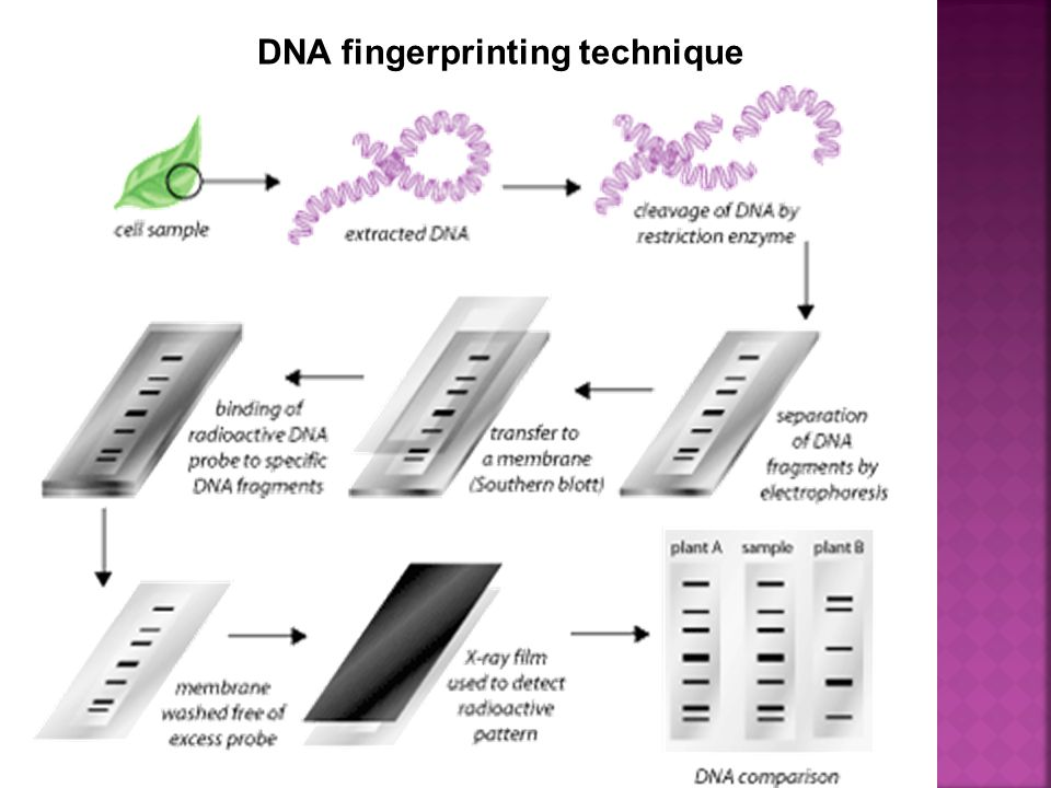 DNA fingerprinting technique