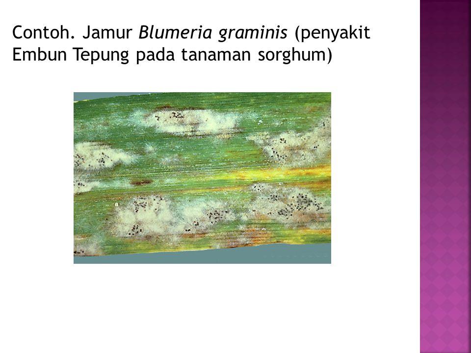Contoh. Jamur Blumeria graminis (penyakit Embun Tepung pada tanaman sorghum)