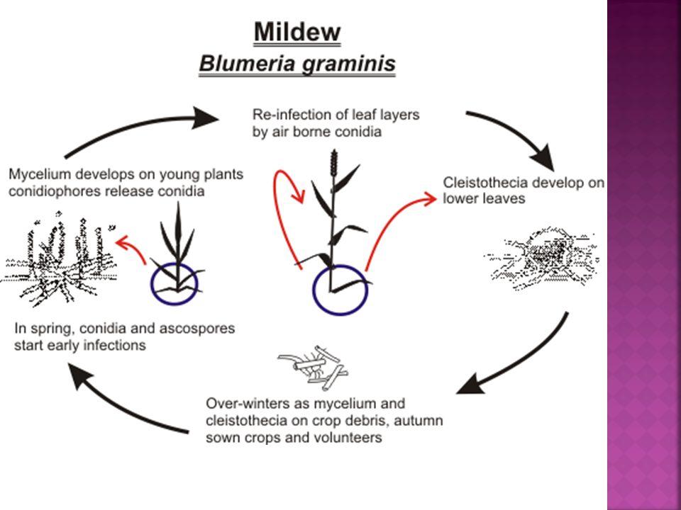 Tiga komponen populasi B.graminis, yaitu: 1.Spora, yang berperan penting pada proses infeksi.