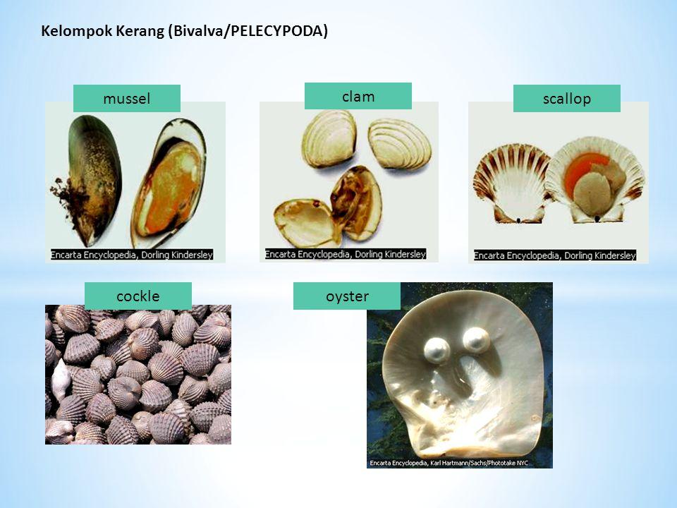 Kelompok Kerang (Bivalva/PELECYPODA) oystercockle scallop clam mussel