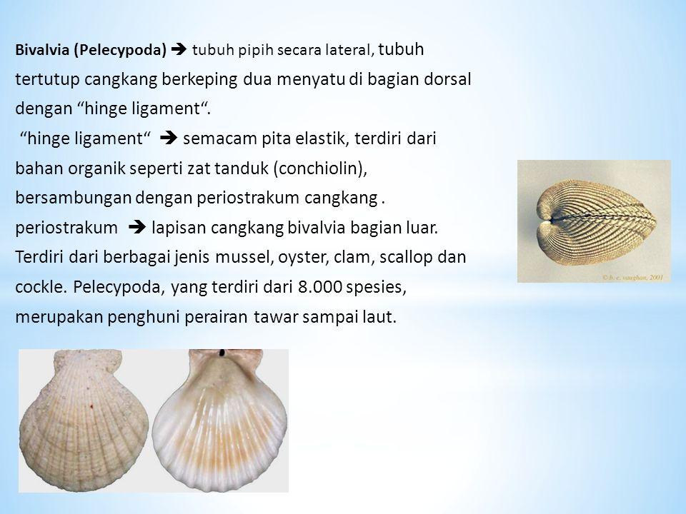 """Bivalvia (Pelecypoda)  tubuh pipih secara lateral, tubuh tertutup cangkang berkeping dua menyatu di bagian dorsal dengan """"hinge ligament"""". """"hinge lig"""