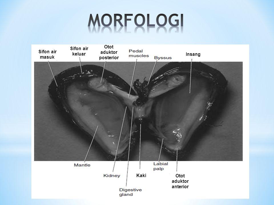 Otot aduktor posterior Otot aduktor anterior Kaki Insang Sifon air masuk Sifon air keluar