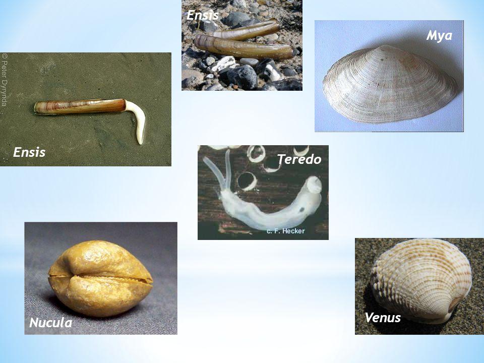 Torsi pada Gastropoda Torsi adalah peristiwa memutarnya cangkang (ke kiri atau ke kanan), mantel dan massa visceral sampai 180 o terhadap kepala dan kaki; terjadi pada waktu stadia veliger.