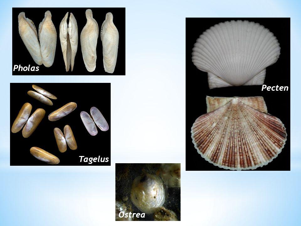 Cangkang mampu melindungi dari pemangsa dan pengaruh lingkungan.
