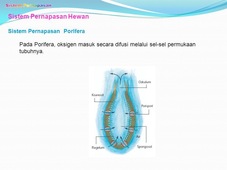 Sistem Pernapasan Hewan Sistem Pernapasan Porifera Pada Porifera, oksigen masuk secara difusi melalui sel-sel permukaan tubuhnya.