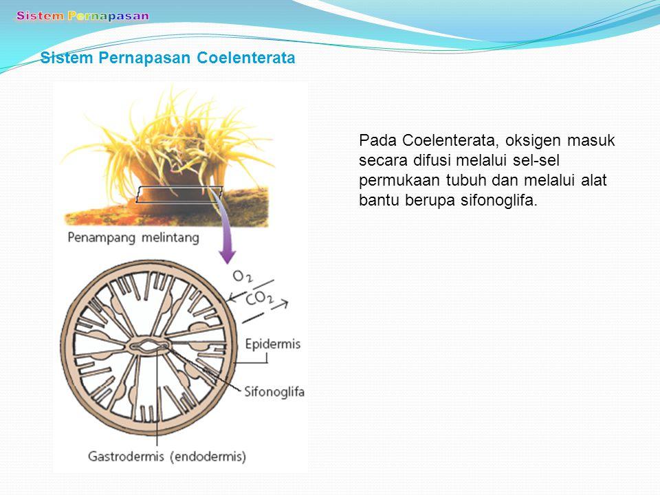 Sistem Pernapasan Coelenterata Pada Coelenterata, oksigen masuk secara difusi melalui sel-sel permukaan tubuh dan melalui alat bantu berupa sifonoglif