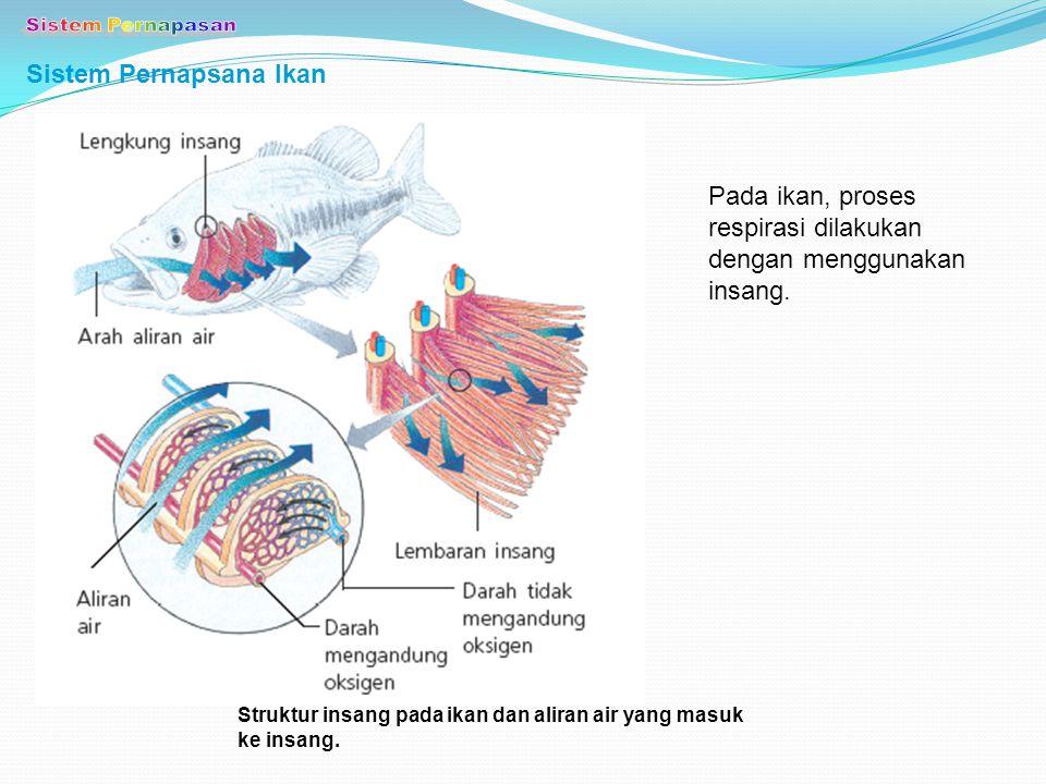 Sistem Pernapsana Ikan Pada ikan, proses respirasi dilakukan dengan menggunakan insang. Struktur insang pada ikan dan aliran air yang masuk ke insang.
