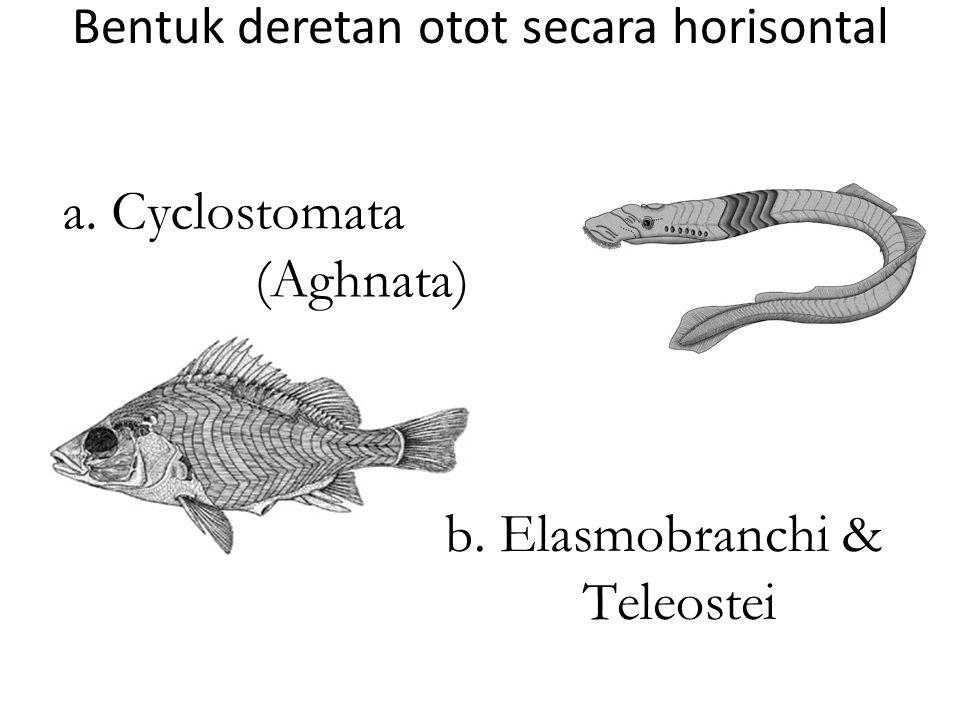 Bentuk deretan otot secara horisontal b. Elasmobranchi & Teleostei a. Cyclostomata (Aghnata)