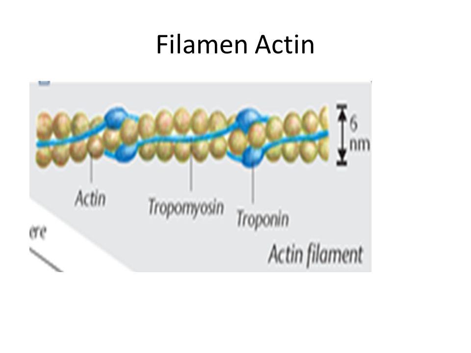 Filamen Actin