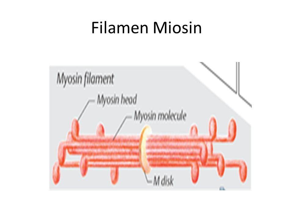 Filamen Miosin