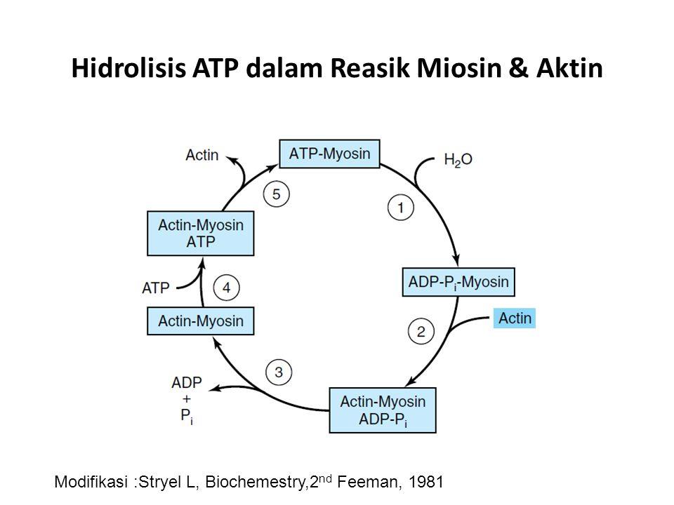 Hidrolisis ATP dalam Reasik Miosin & Aktin Modifikasi :Stryel L, Biochemestry,2 nd Feeman, 1981