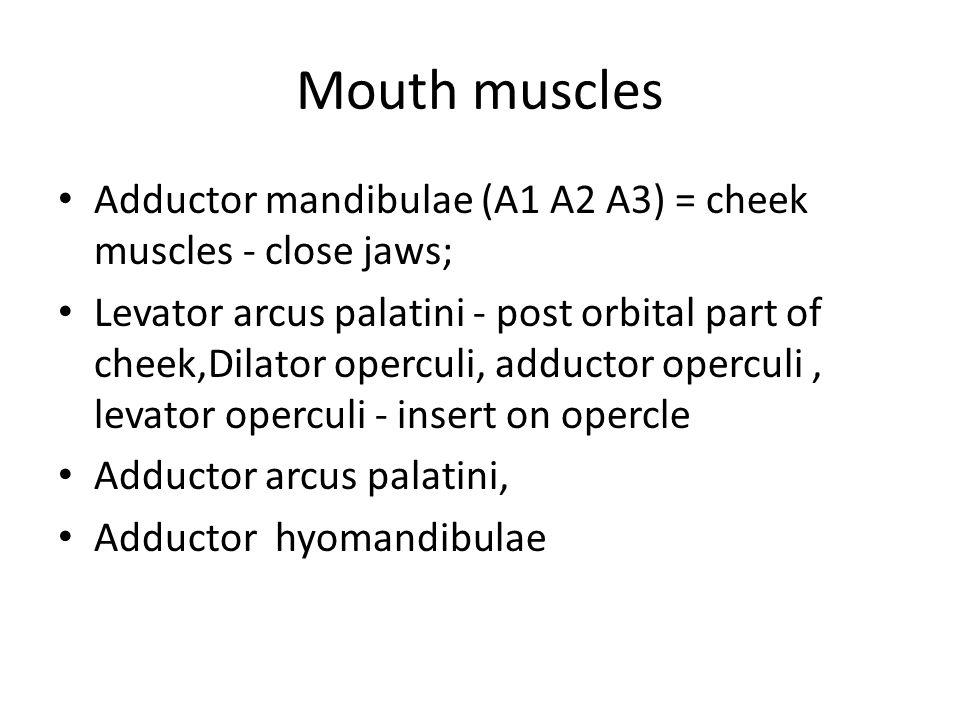 Mouth muscles Adductor mandibulae (A1 A2 A3) = cheek muscles - close jaws; Levator arcus palatini - post orbital part of cheek,Dilator operculi, adduc