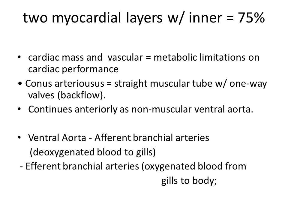two myocardial layers w/ inner = 75% cardiac mass and vascular = metabolic limitations on cardiac performance Conus arteriousus = straight muscular tu