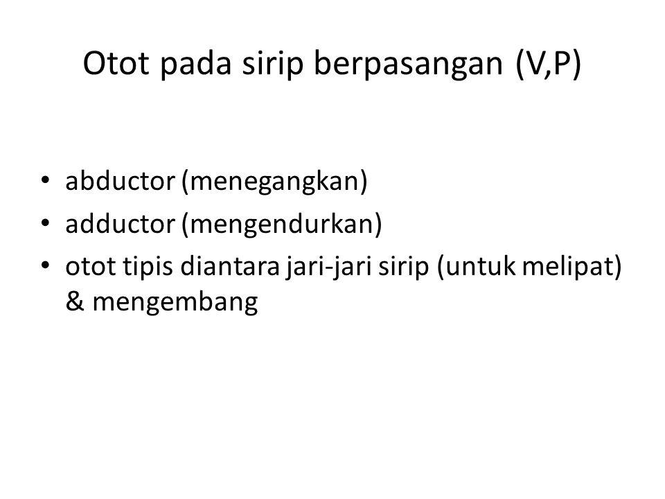 Otot pada sirip berpasangan (V,P) abductor (menegangkan) adductor (mengendurkan) otot tipis diantara jari-jari sirip (untuk melipat) & mengembang