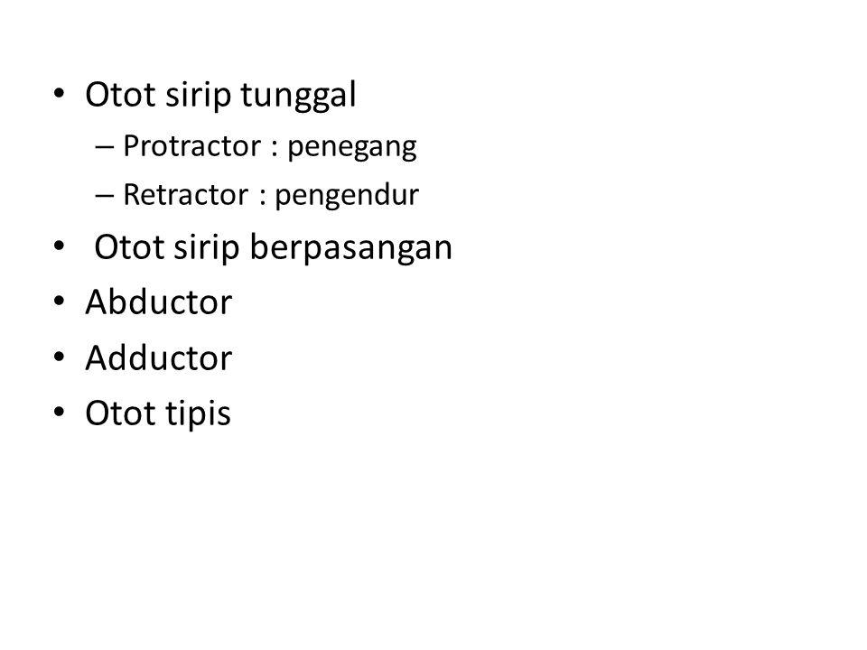 Otot sirip tunggal – Protractor : penegang – Retractor : pengendur Otot sirip berpasangan Abductor Adductor Otot tipis