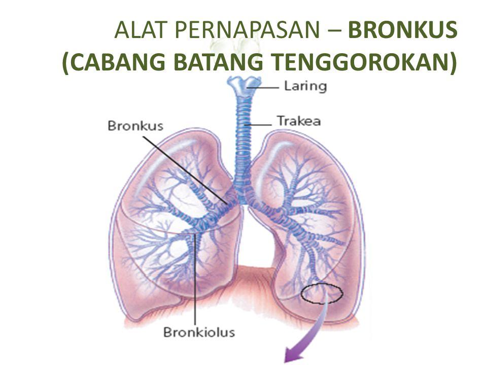 ALAT PERNAPASAN – BRONKUS (CABANG BATANG TENGGOROKAN) Bagian yang menghubungkan trakea dengan paru-paru Terdapat di paru-paru kanan dan kiri Terdiri d