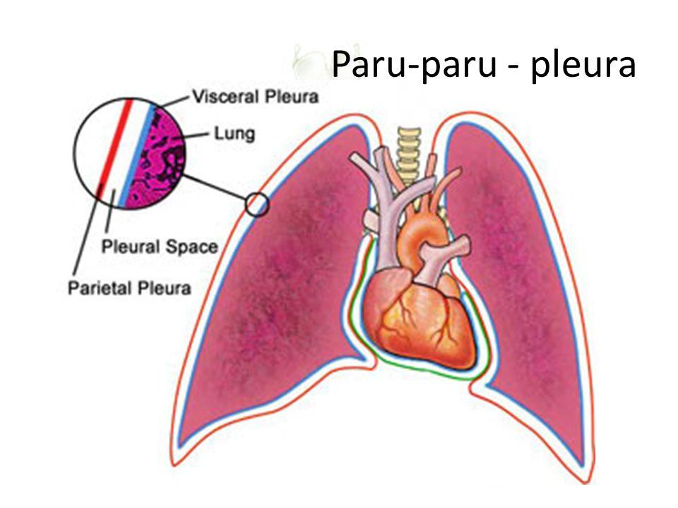 ALAT PERNAPASAN – PULMO Diselubungi oleh selaput elastis: pleurapleura Letak: di dalam rongga dada, di atas diafragma: sekat yang membatasi rongga dad