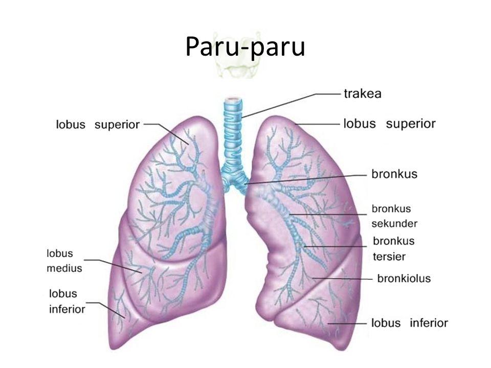 Paru-paru – diafragma