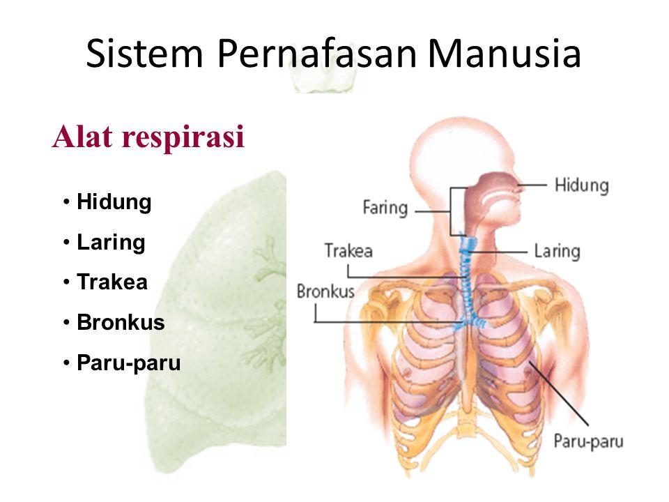 Tulang rusuk turun karena otot interkostal berelaksasi Udara keluar Diaphragma berelaksasi (naik) Ekspirasi Ekspirasi – Pengeluaran udara dari dalam p