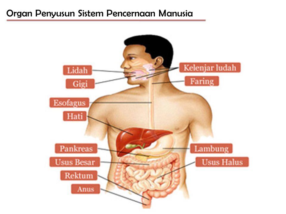 Organ Penyusun Sistem Pencernaan Manusia