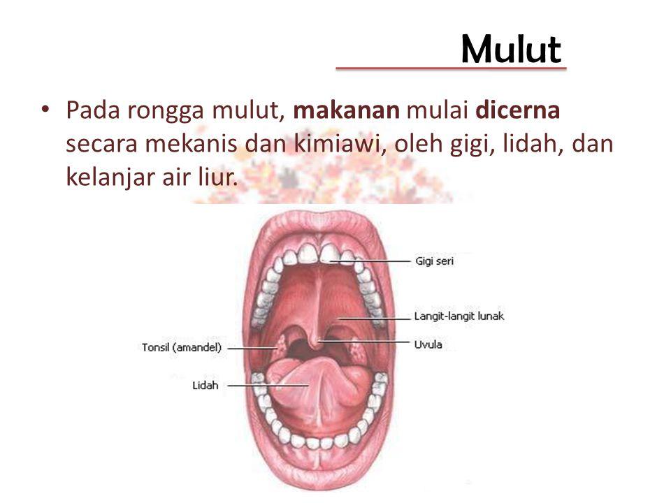 Mulut Pada rongga mulut, makanan mulai dicerna secara mekanis dan kimiawi, oleh gigi, lidah, dan kelanjar air liur.