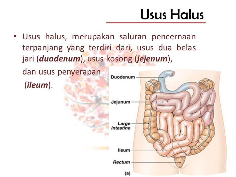 Usus Halus Usus halus, merupakan saluran pencernaan terpanjang yang terdiri dari, usus dua belas jari (duodenum), usus kosong (jejenum), dan usus peny