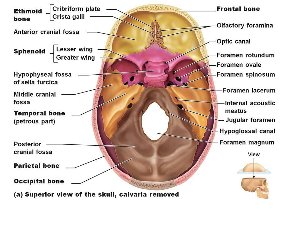 cranium Cranium terdiri dari beberapa tulang pipih yang terhubung sangat rapat dengan diikat oleh jaringan fibrous yg disebut sutura