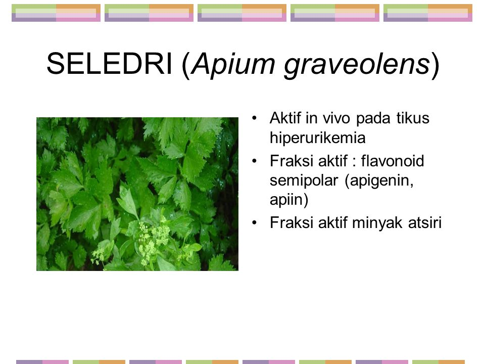 SELEDRI (Apium graveolens) Aktif in vivo pada tikus hiperurikemia Fraksi aktif : flavonoid semipolar (apigenin, apiin) Fraksi aktif minyak atsiri