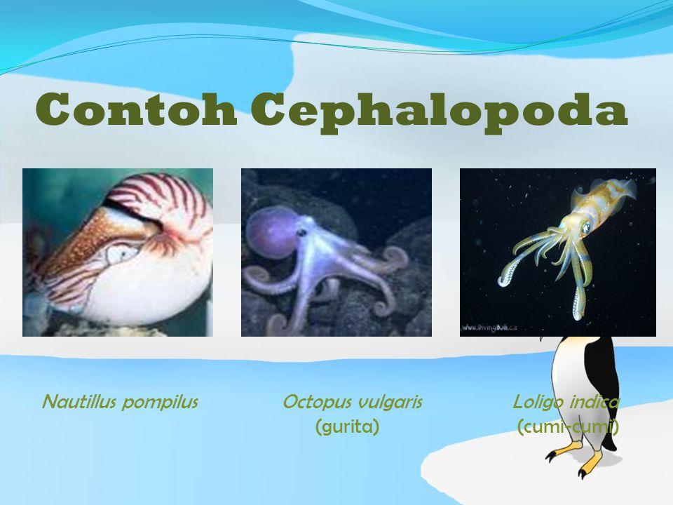 Contoh Cephalopoda Nautillus pompilus Octopus vulgaris Loligo indica (gurita) (cumi-cumi)