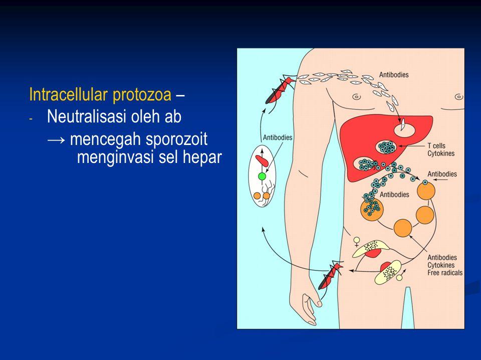 2. Acquired immunity – antibody response Extracellular protozoa – - - Respon Th2 – produksi Ab - - opsonisasi - - Aktivasi komplemen - - Antibody Depe