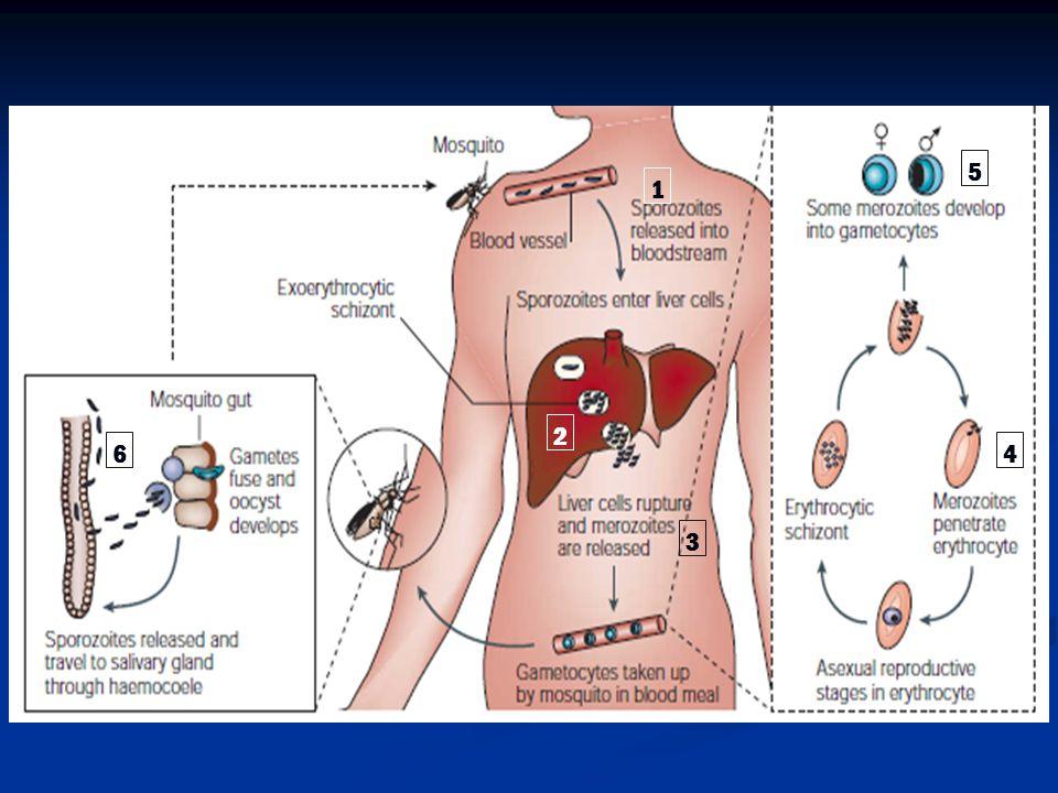 Antibodi spesifik terhadap malaria terbentuk akibat sporulasi Antibodi spesifik terhadap malaria terbentuk akibat sporulasi Antibodi yang terbentuk: Antibodi yang terbentuk: jumlahnya sedikit kemampuannya rendah cepat hilang dari sirkulasi B.