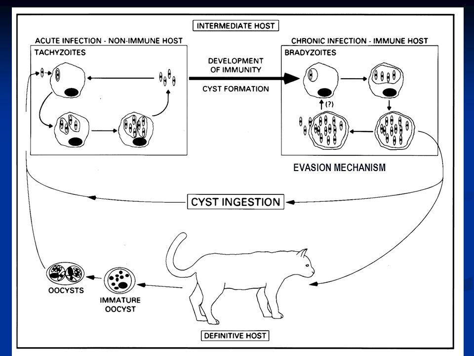 Imunitas terhadap toksoplasmosis lebih bersifat seluler daripada humoral → walaupun keduanya ikut terlibat dalam menghambat multipikasi parasit intraseluler Imunitas terhadap toksoplasmosis lebih bersifat seluler daripada humoral → walaupun keduanya ikut terlibat dalam menghambat multipikasi parasit intraseluler Antibodi terhadap toksoplasma dapat ditransmisikan dari ibu ke janin melalui plasenta atau ASI Antibodi terhadap toksoplasma dapat ditransmisikan dari ibu ke janin melalui plasenta atau ASI Toksoplasmosis akut biasanya pd orang-orang dengan immunosupresi.
