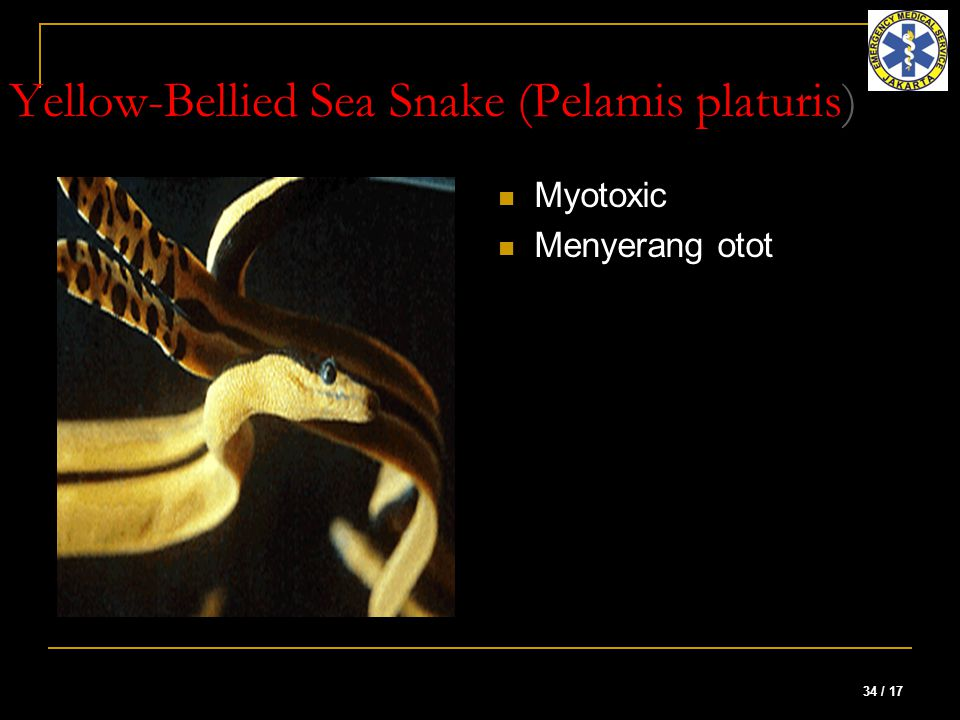 34 / 17 Yellow-Bellied Sea Snake (Pelamis platuris) Myotoxic Menyerang otot