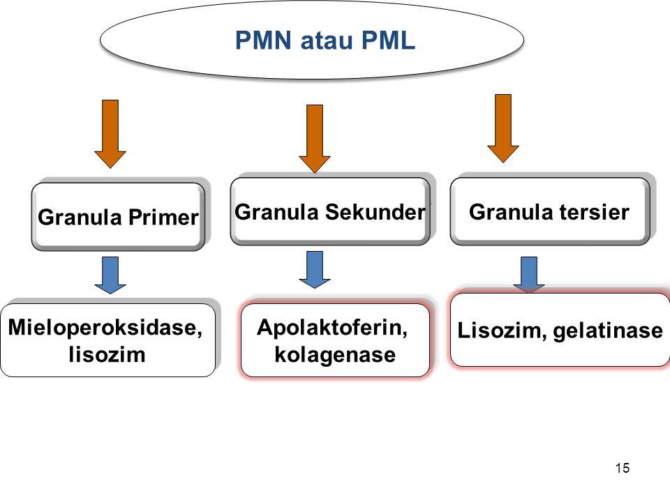 15 PMN atau PML Mieloperoksidase, lisozim Mieloperoksidase, lisozim Apolaktoferin, kolagenase Apolaktoferin, kolagenase Granula Sekunder Granula Prime