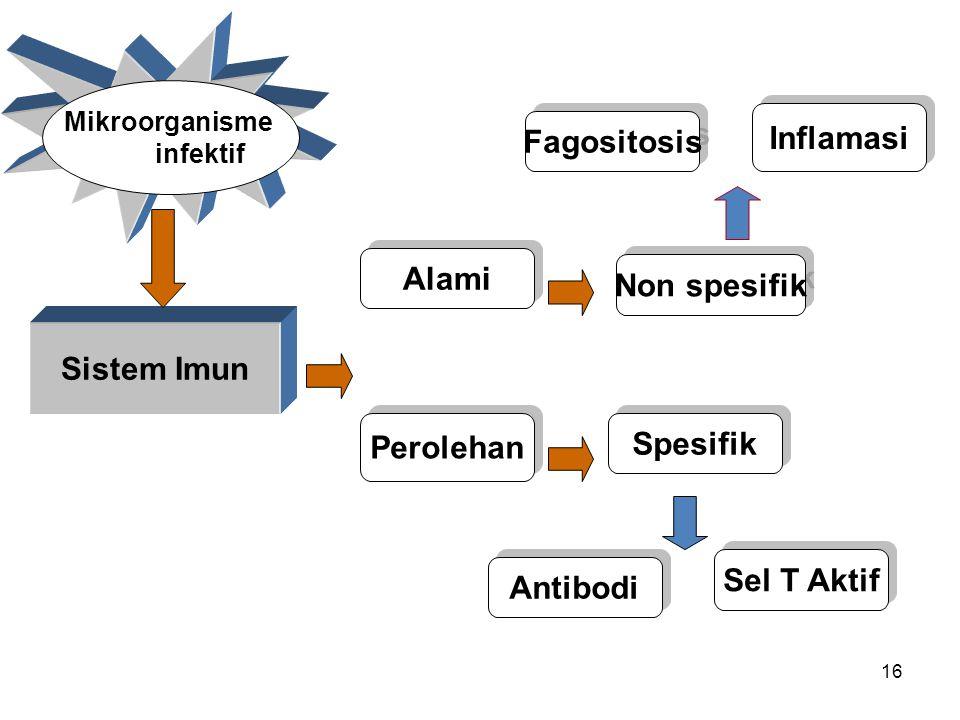 16 Sistem Imun Alami Mikroorganisme infektif Perolehan Non spesifik Spesifik Fagositosis Inflamasi Antibodi Sel T Aktif