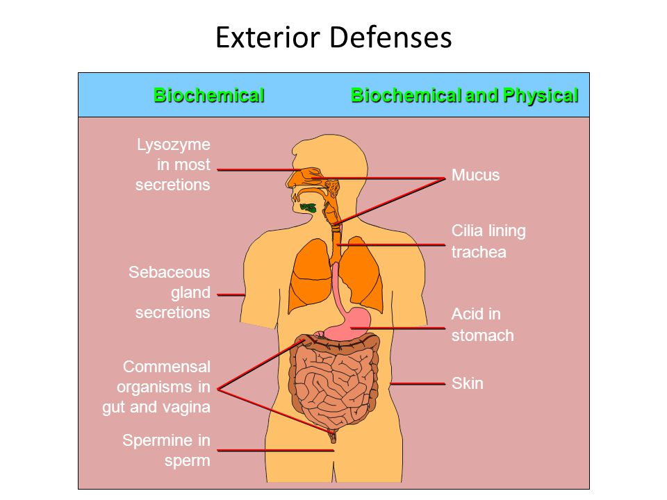Exterior Defenses Biochemical Biochemical and Physical Lysozyme in most secretions Sebaceous gland secretions Commensal organisms in gut and vagina Sp