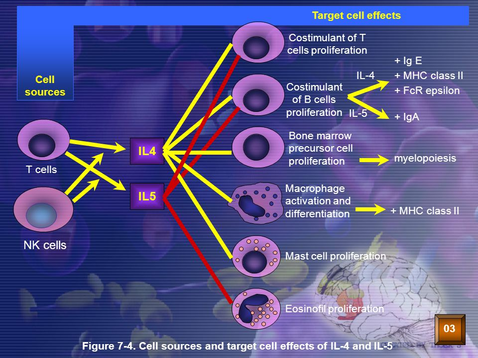 35 IL4IL5 NK cells T cells Costimulant of T cells proliferation Costimulant of B cells proliferation Bone marrow precursor cell proliferation Macropha