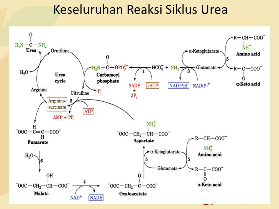 Keseluruhan Reaksi Siklus Urea