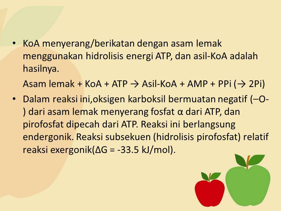 KoA menyerang/berikatan dengan asam lemak menggunakan hidrolisis energi ATP, dan asil-KoA adalah hasilnya. Asam lemak + KoA + ATP → Asil-KoA + AMP + P