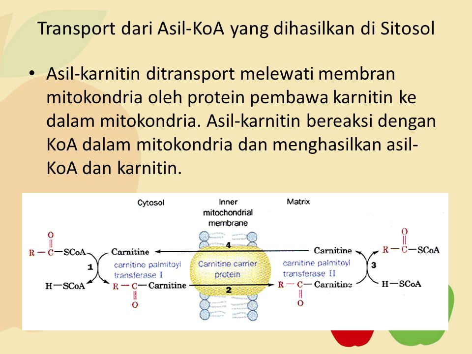 Asil-karnitin ditransport melewati membran mitokondria oleh protein pembawa karnitin ke dalam mitokondria. Asil-karnitin bereaksi dengan KoA dalam mit