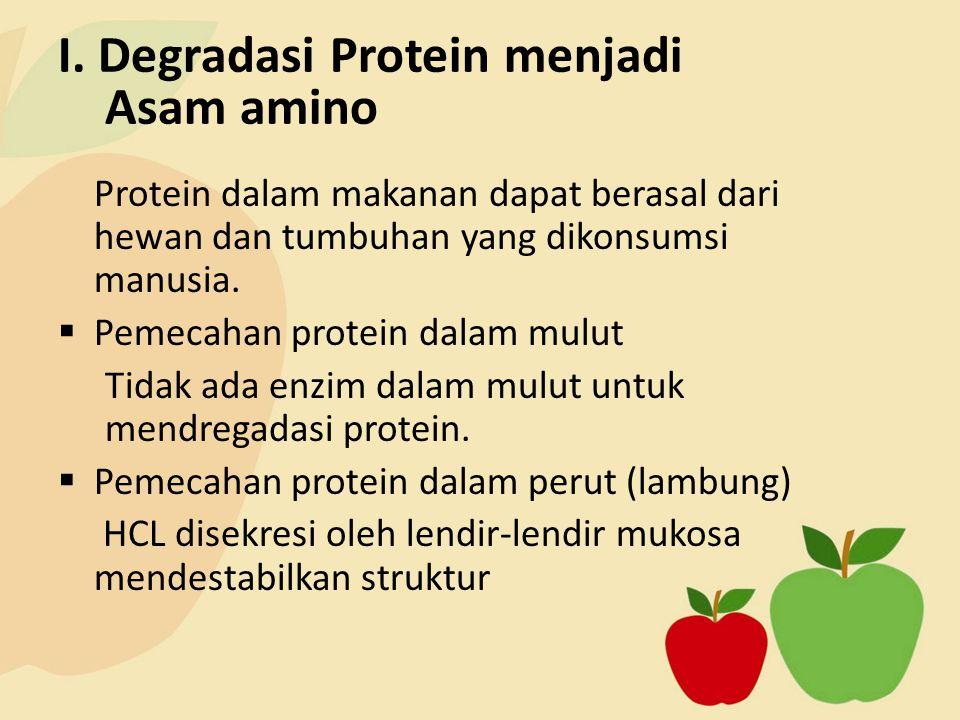 I. Degradasi Protein menjadi Asam amino Protein dalam makanan dapat berasal dari hewan dan tumbuhan yang dikonsumsi manusia.  Pemecahan protein dalam