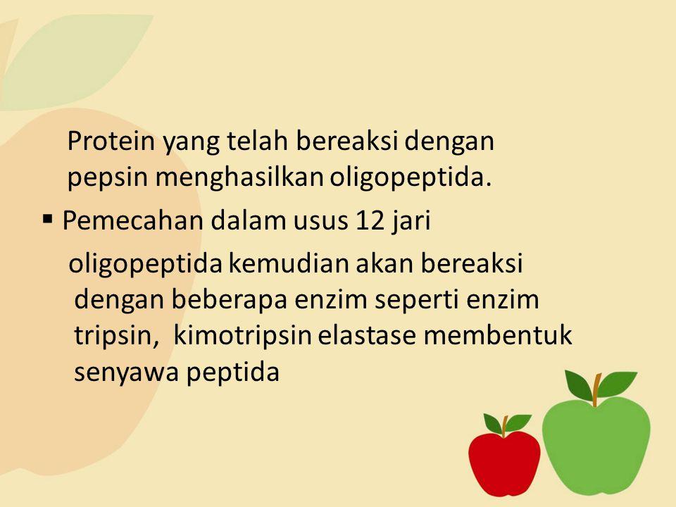 Protein yang telah bereaksi dengan pepsin menghasilkan oligopeptida.  Pemecahan dalam usus 12 jari oligopeptida kemudian akan bereaksi dengan beberap